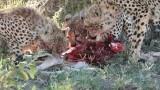 Cheetah Family on a Kill