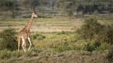 Giraffe in Ndutu - South Serengeti