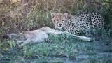 Young Cheetah with a Fresh Kill