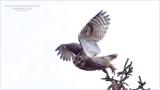 Great Horned Owl in Flight - Maria Barlow - Swarovski Scope!