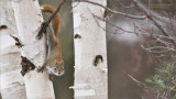 Red Squirrel in Algonquin