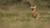 Bat-eared fox  - Tanzania