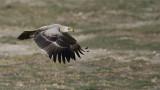 Tawny Eagle in Flight