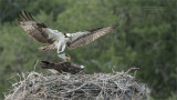 Osprey Nest in Florida
