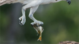 The Talons of an Osprey