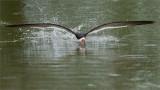 Black skimmer - Skimming