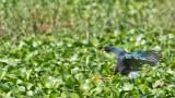 Purple Gallinule Landing