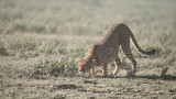 Cheetah Catches a Scent