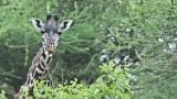 Maasai giraffe Portrait - Tanzania