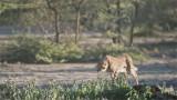Cheetah Hunting - Tanzania