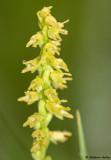 Herminium monorchis
