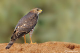Sparviere levantino-Levant Sparrowhawk  (Accipiter brevipes)