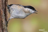 Cincia bigia - Marsh Tit     -(Poecile palustris)