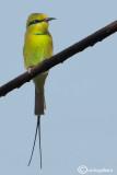 Gruccione verde minore - Green Bee-eater (Merops orientalis)