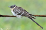 Cuculo dal ciuffo-Great Spotted Cuckoo  (Clamator glandarius)