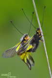Libelloides coccaius