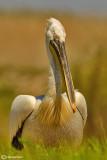Pellicano riccio-Dalmatian Pelican (Pelecanus crispus)