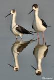 Cavaliere d'Italia-Black-winged Stilt (Himantopus himantopus)