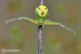 Ebrechtella tricuspidata