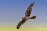 Albanella reale- Hen Harrier (Circus cyaneus)
