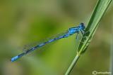 Coenagrion coerulescens
