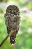 Allocco degli Urali - Ural Owl (Strix uralensis)