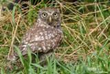 Civetta-Little Owl (Athene noctua)