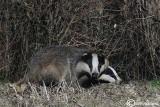 Tasso-European Badger  (Meles meles)