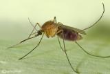 Zanzara (Culex pipens)