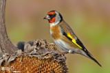 Cardellino -European Goldfinch (Carduelis carduelis)