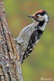 Picchio rosso minore -Lesser Spotted Woodpecker (Dendrocopos minor)