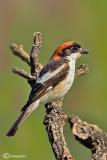 Averla capirossa- Woodchat Shrike(Lanius senator)