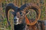 Muflone-Mouflon (Ovis musimon )