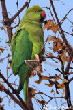 Parrocchetto dal collare-Ring-necked Parakeet (Psittacula krameri)