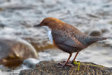 Merlo acquaiolo-White-throated Dipper (Cinclus cinclus)