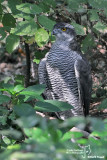 Astore- Northern Goshawk (Accipiter gentilis)