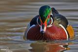 Anatra sposa-Wood Duck (Aix sponsa)