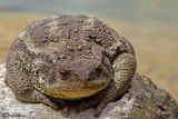 Rospo comune- Common Toad (Bufo bufo)