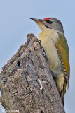 Picchio cenerino Grey-headed Woodpecker(Picus canus)