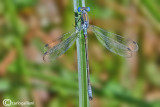 Lestes dryas male