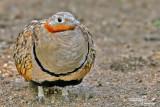 Columbidae-Picidae