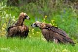 Avvoltoio monaco -Black Vulture (Aegypius monachus)