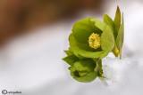 Helleborus viridis