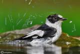 Balia dal collare - Collared Flycatcher ( Ficedula albicollis