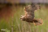 Falco di palude-Western Marsh Harrier (Circus aeruginosus)