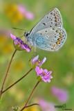 Polyommatus sp.