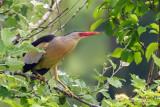 Galliformes-Ardeidae