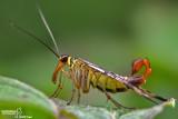 Mosca scorpione - Scorpion flies (Panorpa sp )