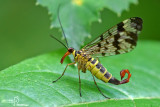 Mosca scorpione (Panorpa sp. )