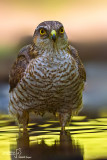 Sparviere- Eurasian Sparrowhawk (Accipiter nisus )